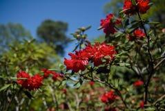 英国大红色杜娟花灌木在庭院里 开花的杜娟花的季节 英国 免版税库存图片