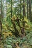 英国天鸽座加拿大山的绿色老森林  免版税库存照片