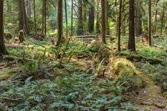 英国天鸽座加拿大山的绿色老森林  免版税图库摄影