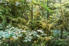 英国天鸽座加拿大山的绿色老森林  库存照片