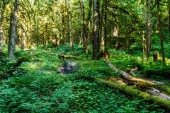 英国天鸽座加拿大山的绿色老森林  库存图片