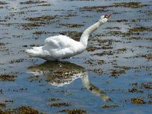 英国天鹅 免版税库存照片