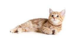英国小猫位于的俏丽的平纹 库存图片