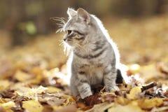 英国小猫在秋天公园,下落的叶子 库存照片