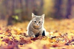 英国小猫在秋天,下落的叶子 库存照片