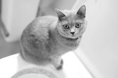 英国小猫shorthair 免版税图库摄影