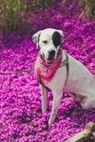 英国尖混合表现型狗 图库摄影