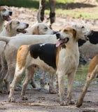 英国尖猎犬准备好行动 免版税库存图片
