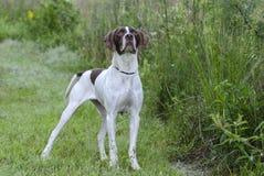 英国尖猎鸟犬 库存照片