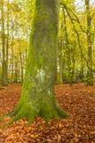 英国山毛榉森林在秋天 库存照片