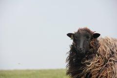 英国布朗绵羊 免版税图库摄影