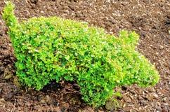 从英国庭院的修剪的花园小猪 图库摄影
