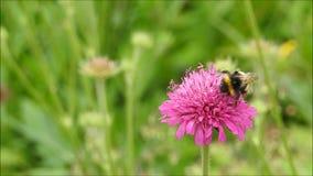 英国弄糟蜂哺养在春天花的昆虫花蜜 股票视频