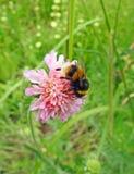 英国弄糟蜂哺养在春天花的昆虫花蜜 图库摄影