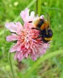 英国弄糟蜂哺养在春天花的昆虫花蜜 免版税库存图片