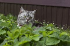 英国或苏格兰品种品种严肃的灰色猫坐 免版税库存照片