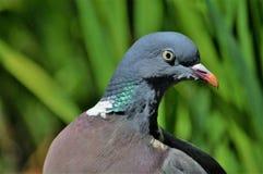 英国斑尾林鸽在庭院里在夏天 免版税库存图片