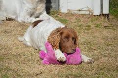 英国斯伯林格西班牙猎狗与玩具的狗宠物 图库摄影
