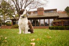 英国斯伯林格西班牙猎狗狗在后院 库存图片