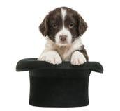 英国斯伯林格西班牙猎狗, 5个星期年纪,坐 免版税图库摄影