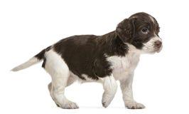 英国斯伯林格西班牙猎狗, 5个星期年纪,查找 库存图片
