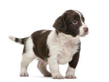 英国斯伯林格西班牙猎狗, 5个星期年纪 免版税库存图片