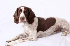 英国斯伯林格西班牙猎狗 库存照片