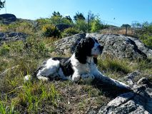 英国斯伯林格西班牙猎狗1 库存照片