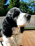 英国斯伯林格西班牙猎狗2 库存照片