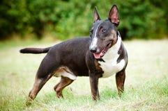 英国杂种犬狗纵向 免版税库存图片