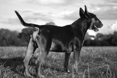 英国杂种犬 免版税库存图片