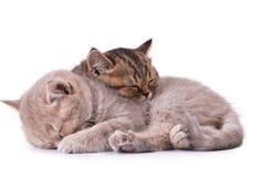 英国查出的小猫二白色 库存图片