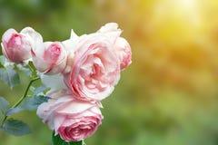 英国桃红色苍白玫瑰丛照片在夏天庭院里 罗斯灌木在公园,室外 与有选择性的软的f的阳光射线 库存照片
