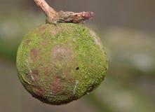 英国橡木或有花梗橡木栎属 图库摄影