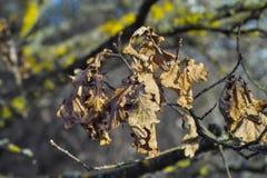 英国橡木的干叶子,有梗花栎,栎属robur,栎属pendunculata,在冬天以后 库存照片