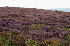 英国欧石南丛生的荒野在夏天 库存照片