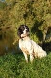 英国河西班牙猎狗蹦跳的人 免版税图库摄影