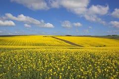 英国油菜 图库摄影