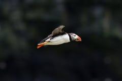 英国海鹦海鸟& x28; Fratercula arctica& x29;从Skomer海岛, 免版税库存图片