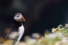 英国海鹦海鸟& x28; Fratercula arctica& x29;从Skomer海岛, 免版税图库摄影
