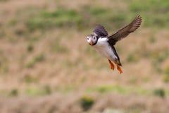 英国海鹦海鸟& x28; Fratercula arctica& x29;从Skomer海岛, 免版税库存照片