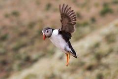 英国海鹦海鸟& x28; Fratercula arctica& x29;从Skomer海岛, 库存图片