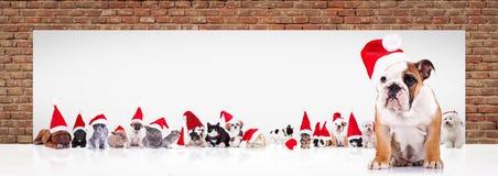 英国牛头犬圣诞老人在billboar附近带领动物大队  库存照片