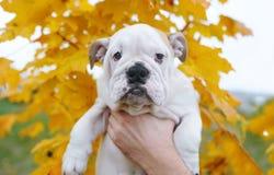 英国牛头犬小狗-以一棵槭树为背景在秋天 库存图片