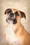 英国牛头犬微笑的工作室纵向 免版税库存照片