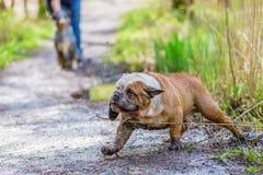 英国牛头犬来肮脏在水外面 库存照片