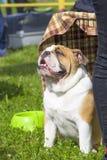 英国牛头犬特写镜头 免版税库存图片