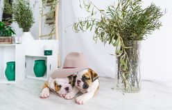 英国牛头犬的两只小狗掩藏了在一个大帽子下 库存照片
