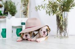 英国牛头犬的两只小狗掩藏了在一个大帽子下 图库摄影