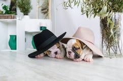 英国牛头犬的两只迷人的小狗在帽子的 库存图片